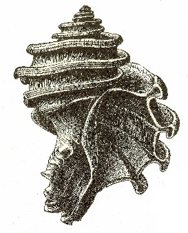 Maryland's Official State Fossil Shell: Ecphora gardnerae gardnerae Wilson